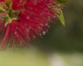 Red Macro Photograph Red Fine Art Photography Photo Green Woodland Dramatic Rain Spring Showers Man Masculine For Him