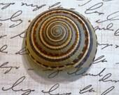 Sundial shells   3 shells  beach crafting Item 146