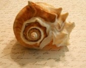Natural Melongina sea shell beach decor and crafting     4 to 5 inches  Item 148
