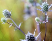 Thistles - Photography Photograph - Purple Thistle Flower - Green - Wildflower Garden Wild Weed - Lavender, Acid, Brown