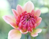 New Beginnings - Photography Photograph - Pink Dahlia Flower - Ombre - Coral, Aqua, Teal, Spring, Summer, Floral, Bloom, Blossom, Bud Break
