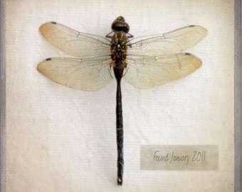 The Collection Number XIII - Photograph Photography - Dragonfly Insect Collector - Bug Specimen - Neutral Minimal Natural History