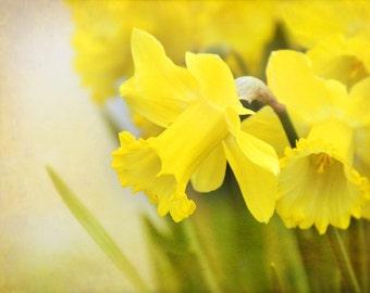Daffodil Shine - Photograph Photography - Bright Yellow - Spring Bulb Planting - Flower Garden, Green, Easter, Daffodil Days, Decor, Sunny