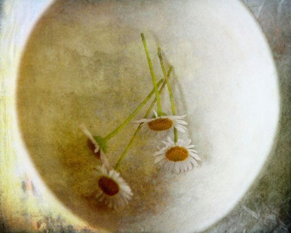 Full Circle - Photography Photograph - Daisies Daisy - Chamomile Moon - Ethereal Symbolic Dreamy Dream - Flowers