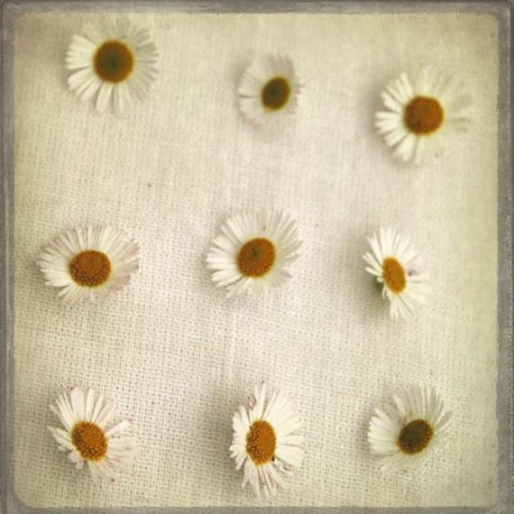 The Collection Number IX - Photography - Daisy Daisies - Cream White Yellow Golden Mustard Gray - Natural History - Spring Flower Blossom
