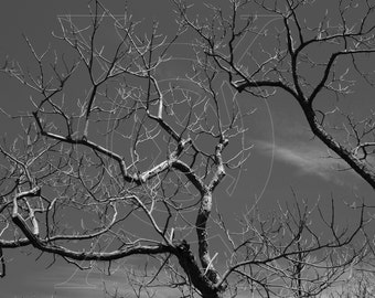 Black & White Tree Branches