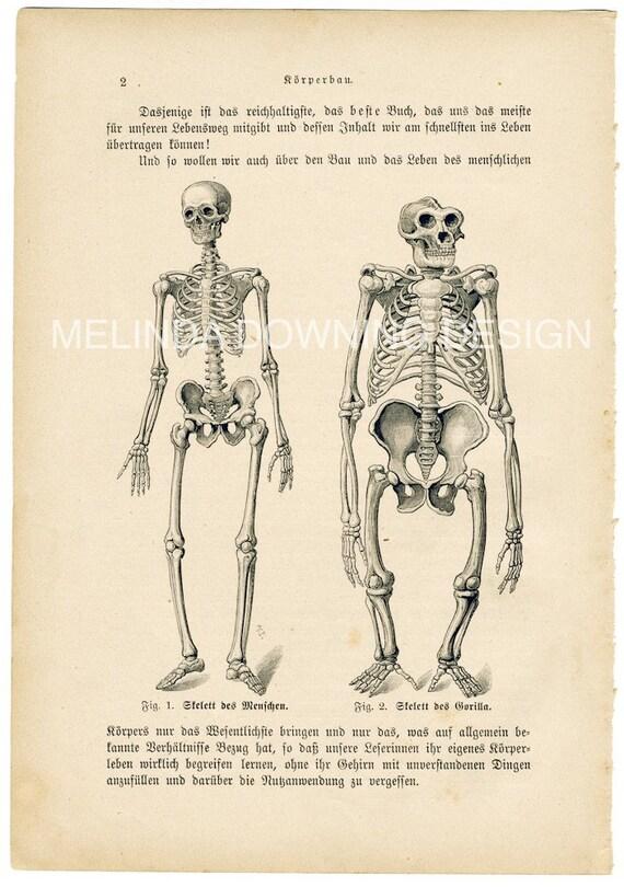 Skeleton of man and gorilla antique anatomy illustration