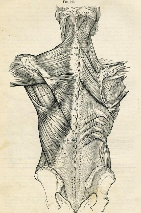 Vintage Anatomical Drawing Human Back Huma...