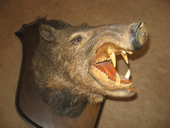 3rd PAYMENT & Final on Taxidermy javelina hog  RESERVED for Jackeline