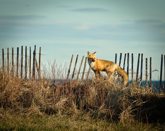 Red Fox at Beach Animal Nature Photograph Print