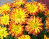 Chrysanthemum Flowers in Yellow and Orange 8x10 Photograph Print