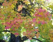 Maple Tree with Yellow, Green and Red Leaves Close-up Digital Watercolor 8x10 Print
