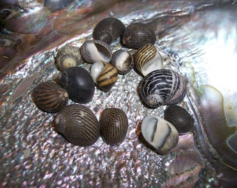 Small Shells for Seashell Art & Crafts Black Brown Stripped Mixed Snail Nerita/ Crafting Decorating/ Sailor Valentine Supplies/ Spiral top