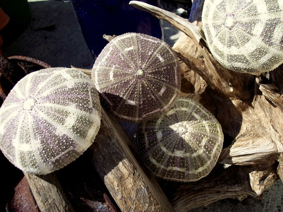 Overstock SALE Natural Alfonso Sea Urchins in Beautiful Colors of violet and green- Nice XL Size- Loose Sea Shell Supplies for Coastal Decor