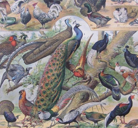 Birds b - antique french color illustration from the Nouveau Larousse Illustré (1897-1904)