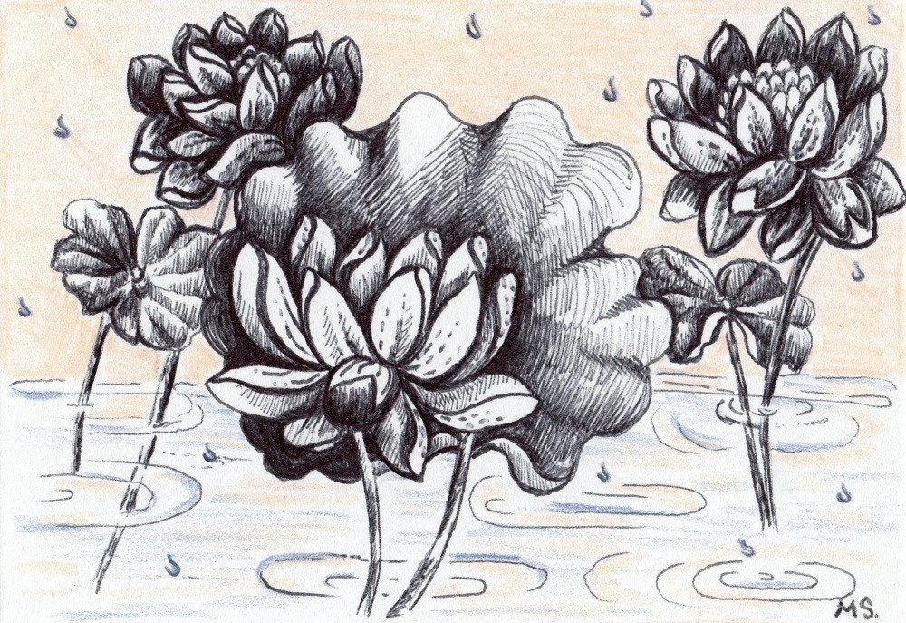 Raindrops on Roses Drawing Lotus Flower Rain Drops