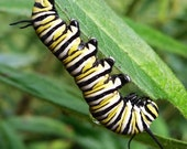 Photo Note Card of black, yellow and white Monarch caterpillar, blank inside