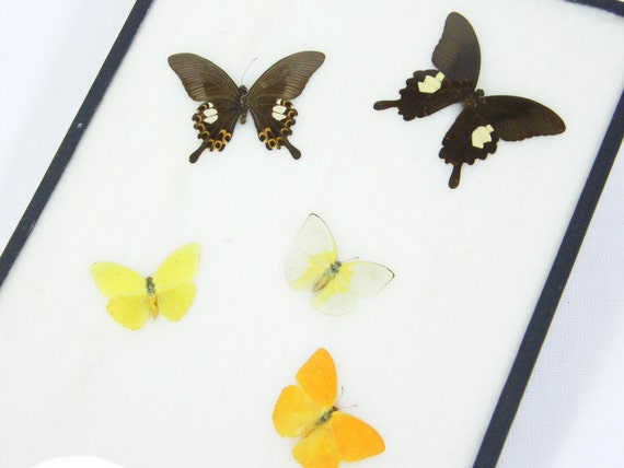 Antique Butterfly Collection