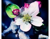 "Apple Blossom - flower photography, wall decor, interior decoration, bold colors - 8"" x 8"" Original Signed Fine Art Photograph"