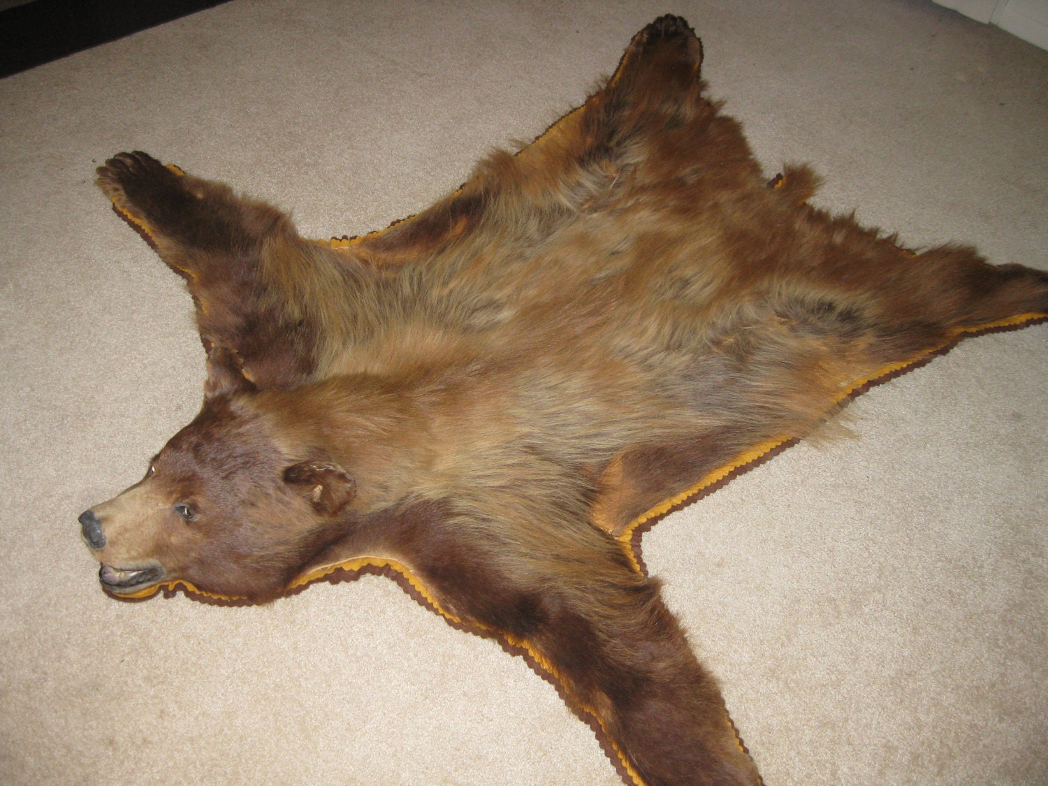 Antique Bear Skin Rug Rare Cinnamon Phase Black Bear