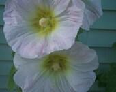 White Pink Hollyhock 50 Plus Seeds