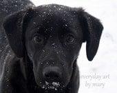 Black Lab Pup Fine Art  Photography 8 x 10