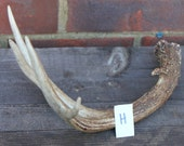 White Tail Deer Antler Decorative Craft Supplies