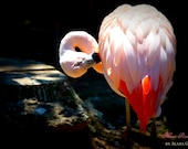 IN STOCK- Flamingo- Fine Art Photopgraphy print 5x7 by Alana Gillett- Feathers Pastel Pink Red Bird Zoo Animal Wall Art Home Decor