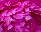 Fuschia Peony- Fine Art Photopgraphy print 5x7 by Alana Gillett- Flower Petals Hot Pink Romantic Home Decor