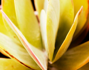 IN STOCK- Succulent Apple- Fine Art Photography print 8x8 by Alana Gillett- Yellow Citrine Ruby Petals Nature Photography Wall Art Decor