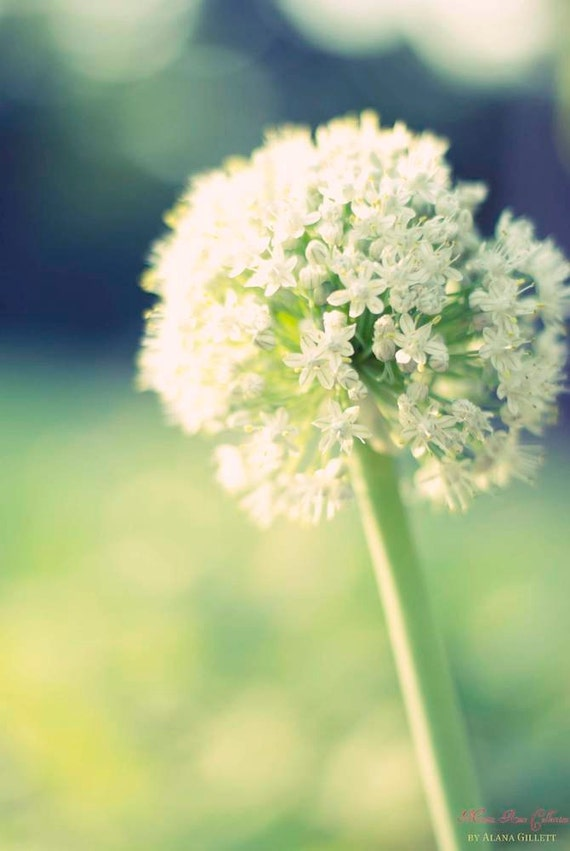 Onion Flower Blues- Fine Art Photography by Alana Gillett 5x7- Dreamy Lime Navy White Blossoms Bokeh Romantic Flower Home Decor