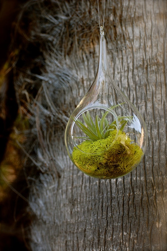 Velutina Hanging Air Plant Terrarium With Moss