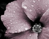 "Pink flower photograph, romantic photo, gray, wall art -- ""Sparkling Beauty"", a 5x7-inch fine art photograph"