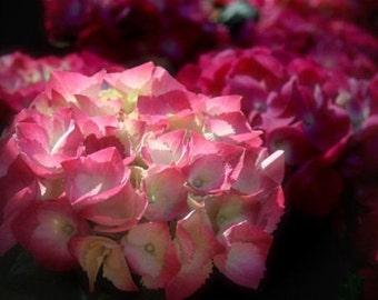 """Hydrangea photograph, pink flower wall art, home decor -- """"Morning Light"""", a 5x7-inch fine art photograph"""