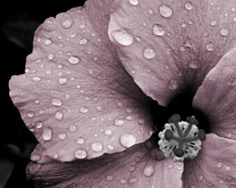 """Flower photograph, pink and gray, mauve, rain drops, wall art -- """"Sparkling Beauty"""", an 8x10-inch fine art photograph"""