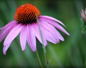 """ACEO photograph, flower mini print, pink, green -- """"Misty Morning"""" (2.5 x 3.5 inches)"""