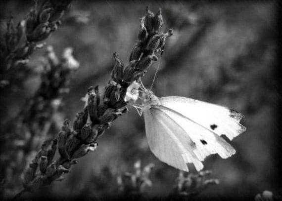 """ACEO photograph, black and white, butterfly, mini print -- """"Lavender Lunch"""" (2.5 x 3.5 inches)"""