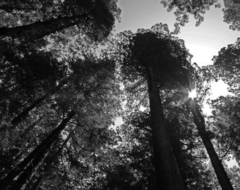 Sunshine in the Redwoods - Fine Art Photograph, Nature, Trees, Black and White Home Decor