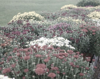 Mums - Fine Art Photograph, Fall, Autumn Flowers, Nature, Floral, Halloween Home Decor