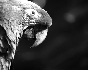 Macaw - A Curious Macaw Parrot - Home Decor Fine Art Photograph - Black and White Animal, Bird Photo