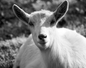 Lambie the Goat - Black and White Fine Art Photograph, Spring Nursery Decor Photography Farm Barnyard Cute Animal Doe Rustic Photo