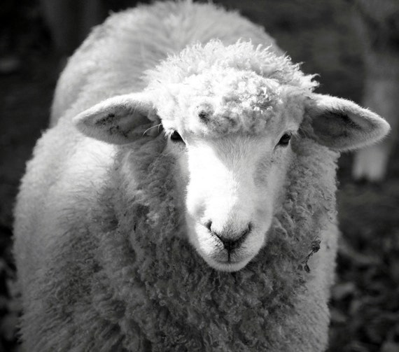 Black and White Sheep - Free Shipping - Home Decor Nature, Easter Lamb, Wool, Animal Fine Art Photograph - 8x10