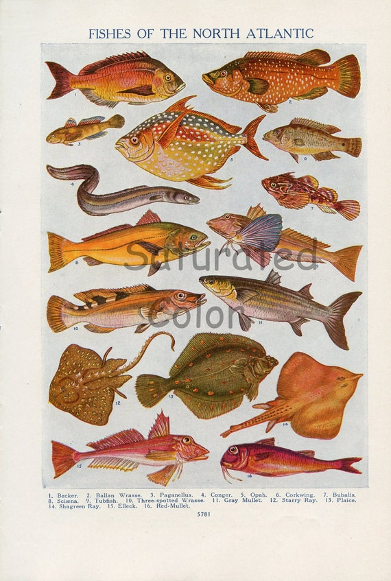 Fish -  Colorful Sea Life Vintage Fishes Bookplate - DOUBLE SIDED