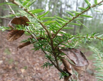 15 Inch Eastern  Hemlock Evergreen Tree Seedling Transplants Ships Free :)  this item SHIPS FREE year round