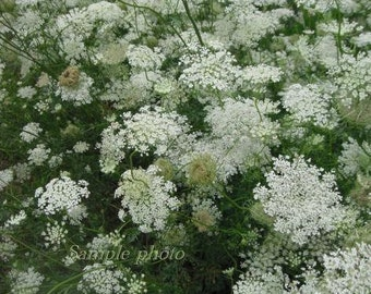 Queen Anne's Lace - Fine Art Wildflower Photography Print 12 x 8