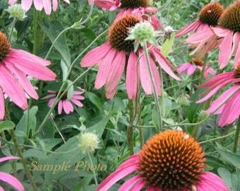 Coneflowers - Fine Art Wildflower Photography Print 12 x 8