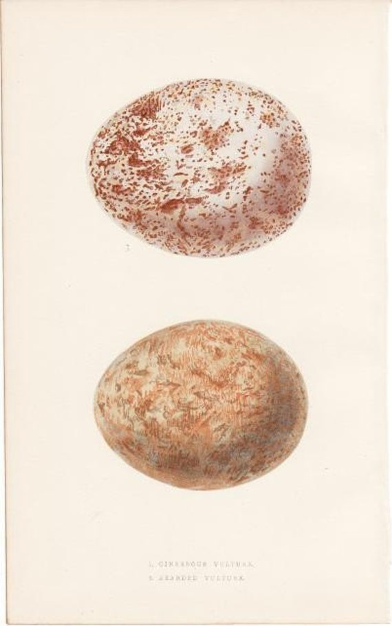 Items similar to egg print antique 1863 cinereous and for Egg tray wall hanging