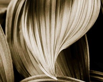 Bronze -Corn Lily Leaves Photographic Print