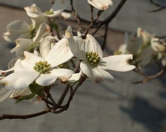 Paper White - dogwood blooms - 8x10 photo