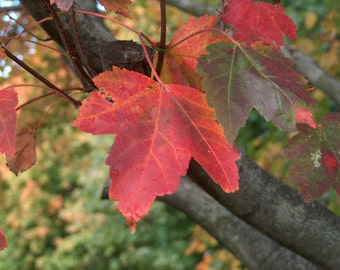 Red Maple leaves in the Fall - 8x10 photograph